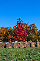 Hay Bales in Autumn2 - We got lost looking for some kind of park and came across these hay bales with these trees popping with fall colors in the Ozark in a vertical format.  We loved the neat rows of hay bales and then these colorful fall trees in reds, oranges, and green telling us that autumn is here.