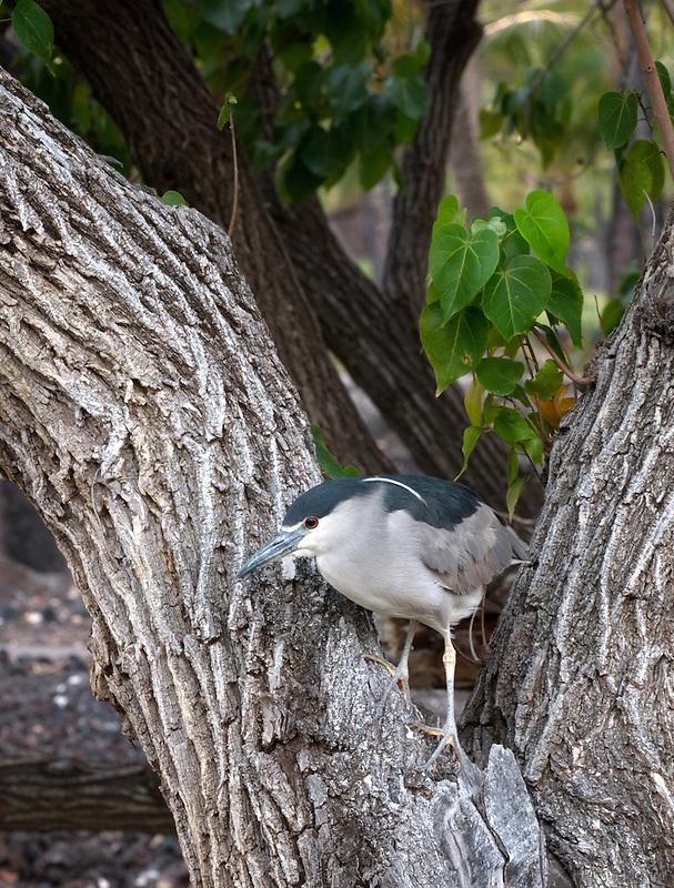 Heron in tree. Hawaii Island