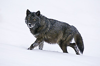 Grey Wolf (canis lupus) walking through the snow up a hill near Kalispell, Montana, USA - Captive Animal