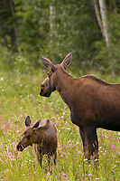 Cow moose and calf along the Alaska Highway, interior, Alaska.
