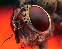 Portrait of a little fly, made with magnification 8 and f/8 using a Canon 7D, a Canon macrolens MP-E 65mm/f2.8 and a Canon 2x teleconverter. The fly was alive and busy in the garden...True flies are insects of the order Diptera (from the Greek di = two, and ptera = wings). They possess a pair of wings on the mesothorax and a pair of halteres, derived from the hind wings, on the metathorax..Diptera is a large order, containing an estimated 240,000 species of mosquitoes, gnats, midges and others, although under half of these (about 120,000 species) have been described. It is one of the major insect orders both in terms of ecological and human (medical and economic) importance (source: Wikipedia).