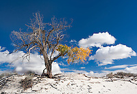 A aging lone cottonwood tree still shows off some fall color in White Sands National Monument in New Mexico.