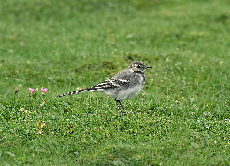 Pied wagtail - Motacilla alba yarrellii - juvenile.  Length 18cm. Familiar black, grey and white bird that pumps its tail up and down and has a distinctive call. Sexes are dissimilar. Adult male in summer has mainly white underparts and black breast and upperparts; note white face, white wingbars, dark legs and bill, and white outer tail feathers. In winter, similar but throat is white and black on breast is less extensive. Adult female recalls an adult male in various seasons but back is dark grey. Juvenile and 1st winter birds have greyish upperparts, black rump, and whitish underparts; note whitish wingbars and yellowish wash to face. Voice Utters a loud chissick call. Status Favours bare ground and short grassland, often near farms, on playing fields or in car parks.