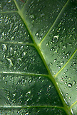 INDONESIA, Flores, detail of a leaf in the rainforest covered in water droplets, Wae Rebo Village