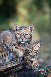 A young bobcat kitten remains in close physical contact with its mother.  Blind and helpless at birth, the kittens mature quickly to independence at around nine months of age. Montana, USA