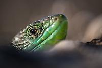 Lizards 2014