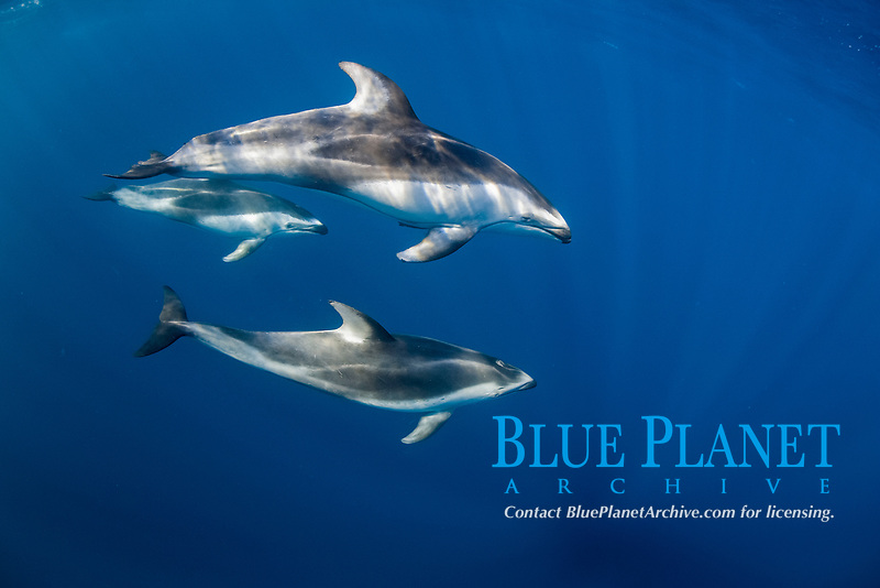 pacific white-sided dolphin, Lagenorhynchus obliquidens, nine-mile Bank, San Diego, California, USA, East Pacific Ocean
