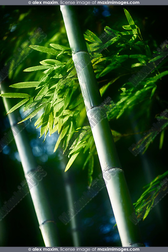 Beautiful closeup of green bamboo leaves and tall culms in dramatic morning light. Arashiyama, Kyoto, Japan. Image © MaximImages, License at https://www.maximimages.com