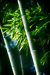 Beautiful closeup of green bamboo leaves and tall culms in dramatic morning light. Arashiyama, Kyoto, Japan.