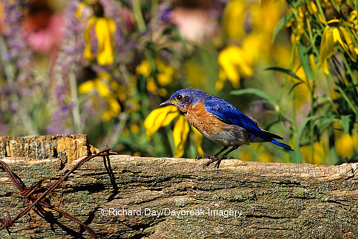 01377-09608 Eastern Bluebird (Sialia sialis) male on fence near flower garden, Marion Co. IL