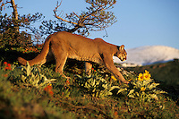 Mountain lion or cougar (Felis concolor).