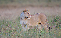 Lioness (Panthera leo) watching her back trail, Serengeti