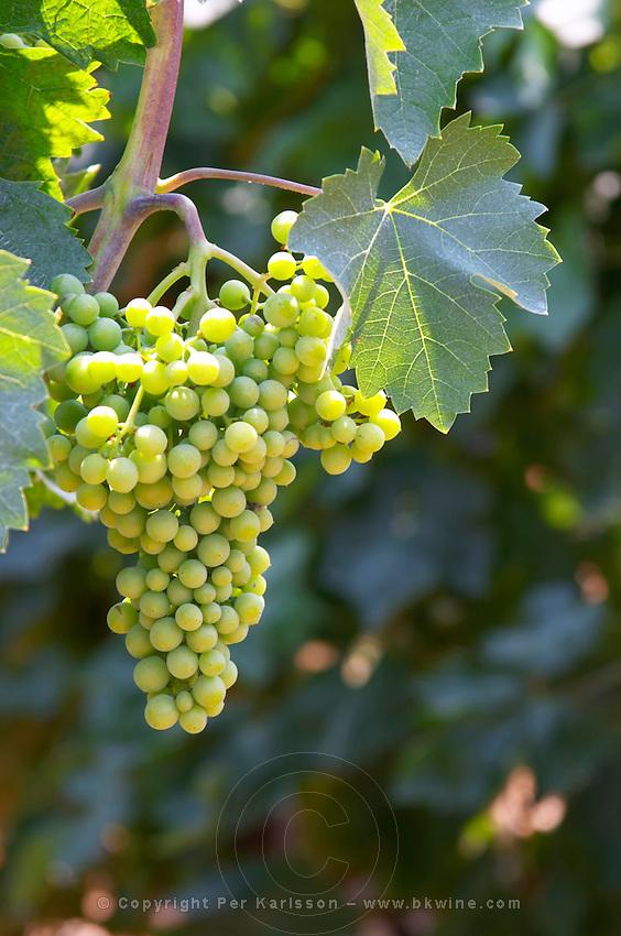 Grape bunch and vine leaf. Parellada grape variety (big leaves). Kantina Miqesia or Medaur winery, Koplik. Albania, Balkan, Europe.