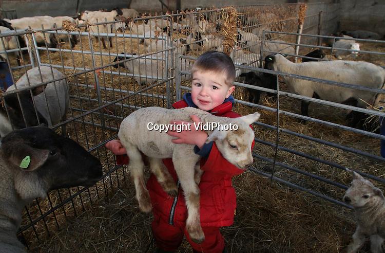 Foto: VidiPhoto..NUENEN - Zelfs pasgeboren lammetjes zijn zwaar. Vooral als je pas drie jaar bent. Cis Adriaans weet echter precies hoe hij met de dieren moet omgaan en helpt vader Rob in het Brabantje Nuenen dinsdag bij het werk. Voor de houder van het exclusieve Gulbergen schapenras is een drukke periode aangeboden. Vanaf nu tot en met februari worden er zo'n 1500 lammetjes geboren. Het vlees van de lammetjes is bestemd voor de Nederlandse toprestaurants.