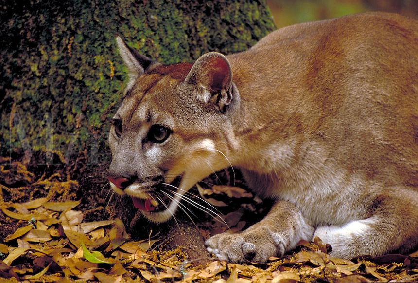 Endangered Florida Panther female. big cat, animals, cats, wildlife, carnivores, predators. Florida.