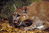 Endangered Florida Panther female. big cat, animals, cats, wildlife, carnivores, predators. Florida.