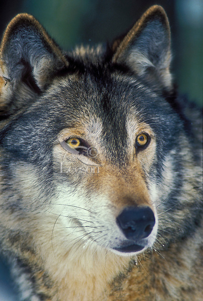 Gray wolf or timber wolf (Canis lupus) portrait. Winter. Canada.