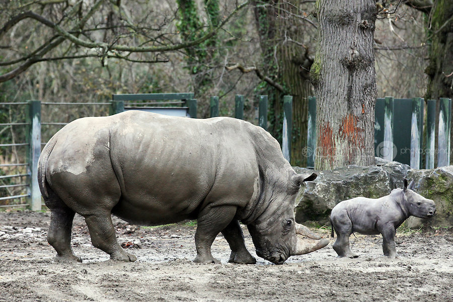 15/12/2010.  Dublin Zoo's rhino calf takes his first steps into the outdoors with his mother Ashanti close behind. Picture James Horan/Collins