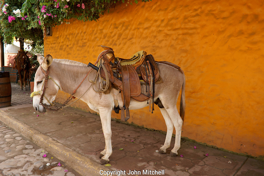 Saddled burro in the town of El Quelite near  Mazatlan, Sinaloa, Mexico