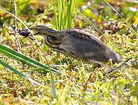 American bittern adult with crayfish