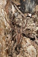Listspinne, List-Spinne, Raubspinne, Brautgeschenkspinne, Pisaura mirabilis, fantastic fishing spider, Nursery web spider
