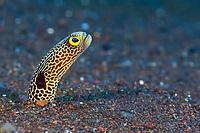 spotted garden eel, Heteroconger hassi, Liberty Wreck, Tulamben, Bali, Indo-Pacific, Indonesia