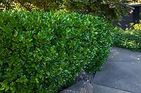 Ligustrum japonicum, Japanese privet or wax leaf privet hedge, Marin Art and Garden Center