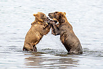 Pictured: Sequence 1 of 6:  The bears wrestling.<br /> <br /> Two young bears play-fight in a lake, wrestling and pushing one another into the water.  The two males spent over half an hour horsing around in Naknek Lake, near the base of the Alaska Peninsula.<br /> <br /> The Peninsular Grizzlies - also known as Coastal Brown Bears - are two years old, but once they are fully grown will stand around 8ft  tall.  SEE OUR COPY FOR DETAILS.<br /> <br /> Please byline: Nina Waffenschmidt/Solent News<br /> <br /> © Nina Waffenschmidt/Solent News & Photo Agency<br /> UK +44 (0) 2380 458800