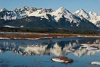 Trumpeter Swans on small pond in Copper River Delta, Alaska.  Early spring.
