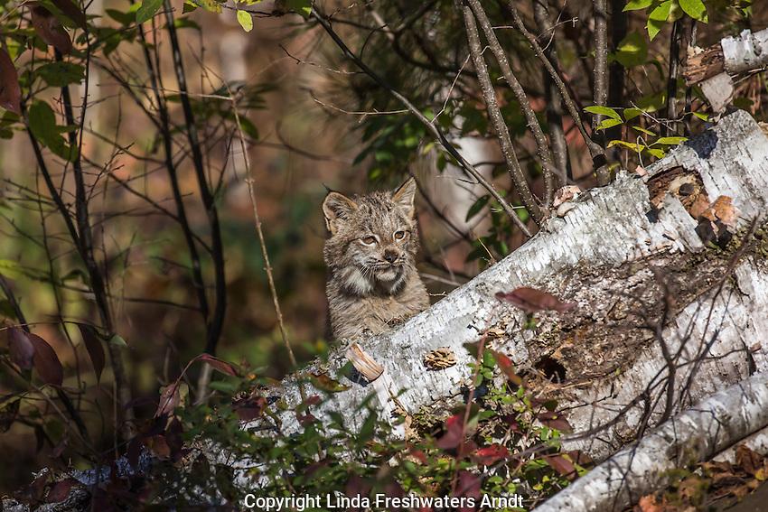Canada lynx kitten