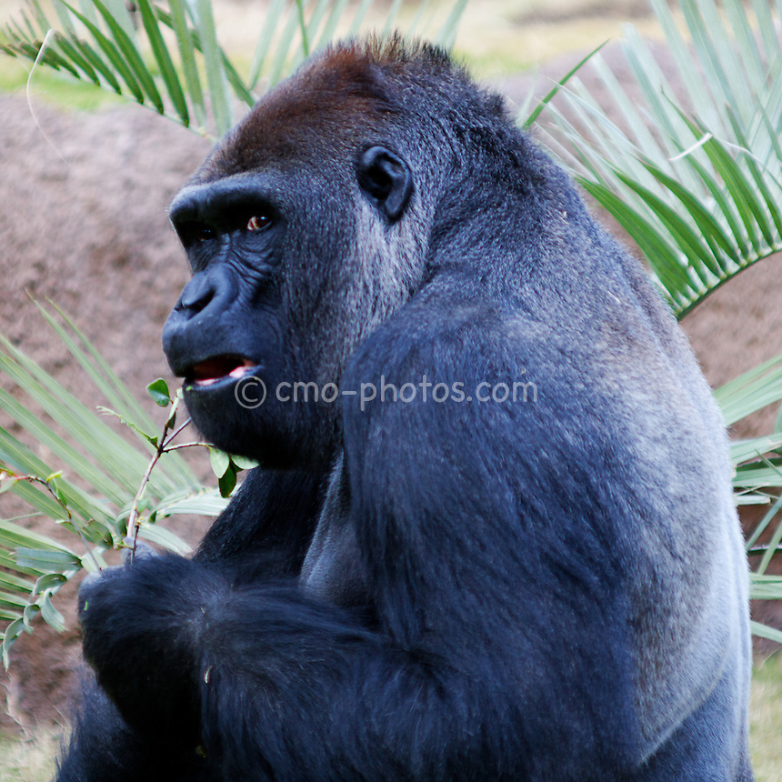 A male silver-back gorilla chews on some foliage in an enclosure at the Los Angeles Zoo