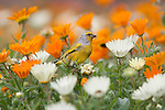 Cape canary, Serinus canicollis, feeding on spring annual flowers, Kirstenbosch Botanic Gardens, Cape Town, South Africa