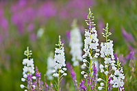 Rare white blossoming fireweed, southcentral, Alaska.