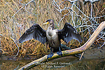 Double-crested Cormorant, Phalacrocorax auritus,  Drying its Wings