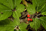 Wild Canadian Ginseng