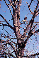 Mature Adult Bald Eagle (Haliaeetus leucocephalus) perched on Tree Branch