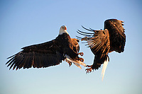 Bald eagles battling in flight, Kachemak Bay, Alaska, USA, Haliaeetus leucocephalus