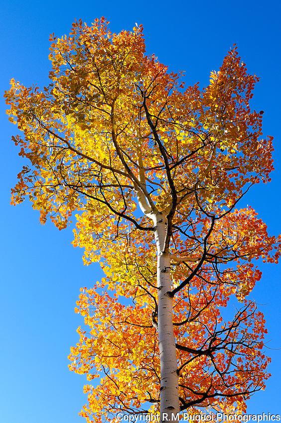 Colorful Fall Colorado Aspen