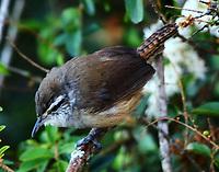 Plain wren