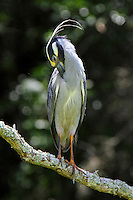 Adult yellow-crowned night-heron preening