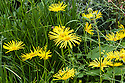 Doronicum 'Finesse', The Mindfulness Garden, designed by Martin Cook, Gold medal winner, RHS Chelsea Flower Show 2013.