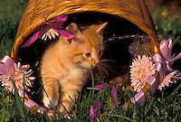 AJ3475, kitten, cat, feline, A cute orange tiger striped kittens (5-6 weeks old) climbs out of an overturned basket on the grass in Exton in the state of Pennsylvania.