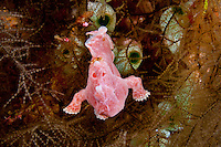 Painted Frogfish ( Antennarius pictus ) underwater off Wakatobi, Southeast Sulawesi, Indonesia.