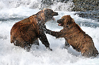 Two brown bears in a dispute over territory at the McNeil River Falls,  in Alaska's McNeil River State Game Sanctuary.
