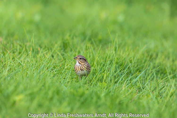 Lincoln's sparrow foraging on the ground in northern Wisconsin.
