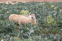 Ewes grazing cauliflowers <br /> &copy;Tim Scrivener Photographer 07850 303986<br />      ....Covering Agriculture In The UK....