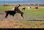 Llama Courtship Ritual, The Display, Loa, Utah