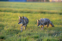 Two coyotes hunt in farm meadow.  Upper mid-west.  Sept.