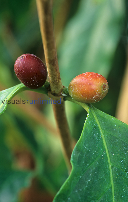 Coffee beans on the plant ,Coffea arabica,.
