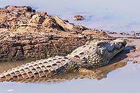 Africa, Zambia, South Luangwa National Park,   crocodile rest
